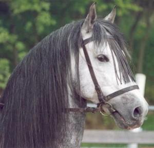 Španělská krása- andaluský kůň